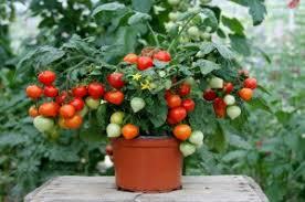 breaking ornamental tomato