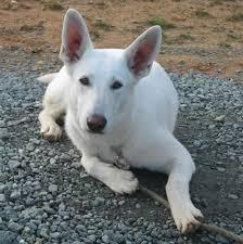 australian shepherd mixed with husky pictures