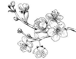 cherry tree branch coloring page coloringcrew com
