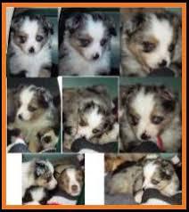 australian shepherd 6 weeks old ghost eye mini aussie avail xmas 2014 litter 7 pup6 jessie blue