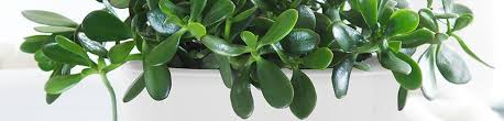 plant delivery jade plant delivery shop for jade plants online my city plants