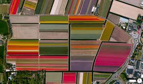 tulip fields in netherlands imgur