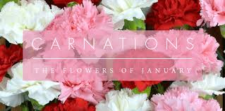 carnations flowers the birth month flower for january carnations peoples flowers
