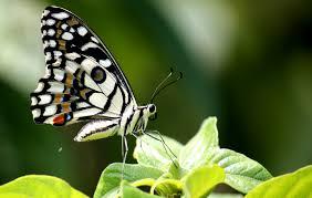file papilio demoleus lime butterfly on leaf jpg wikimedia commons