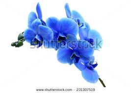 Blue Orchid Flower - flower blue stock images royalty free images u0026 vectors shutterstock
