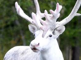 white reindeer sighting in sweden a sign europeancivilwar