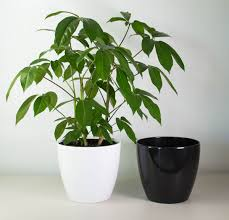 schefflera amate in xl white or black pot cool indoor plants