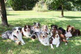 buy a australian shepherd 10 things only an australian shepherd owner would understand