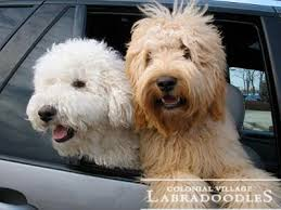 doodle for adoption indiana colonial labradoodles top indiana labradoodle breeder