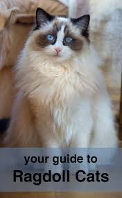 ragdoll cats a complete guide from the happy cat site