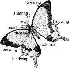 butterflies for