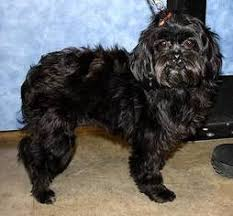affenpinscher terrier mix affen tzu breed information and pictures on puppyfinder com