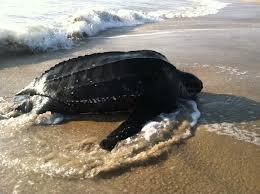 sea turtle facts sea turtle exploration