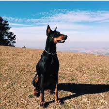 belgian malinois jet black 17 best images about kawaii on pinterest italian greyhound