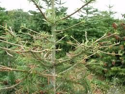 christmas tree management u0026 supply of trees machinery u0026 equipment