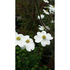 white flowering dogwood plant cloud 9 dogwood tree showy overlapping white bracts lots of
