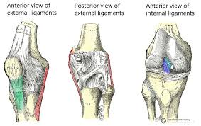 3d Knee Anatomy The Knee Joint Articulations Movements Injuries Teachmeanatomy