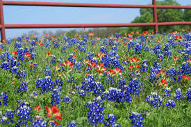 north texas native plants 15 amazing things you should know about texas bluebonnets kera news