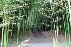 the bamboo forest and a new