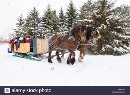 clydesdale horses sleigh rides in winter stock photo