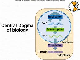Dna Rna And Protein Synthesis Worksheet Citrus Chapter 13 Gene Function