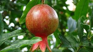 how to make a pomegranate tree fruit pat organic and