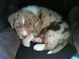 australian shepherd lab puppy new australian shepherd mix puppy help on determining breed