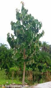 pterospermum acerifolium dinnerplate tree toptropicals