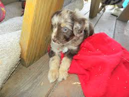 australian shepherd labradoodle yellow and red collar merle mini aussiedoodles