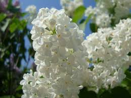 white lilac by norroendyrd on deviantart