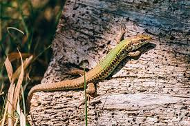 Seeking Lizard Researchers Accurately Identify Lizard Color With