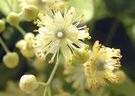 linden flower linden flower essence healing spirits herb farm and education center