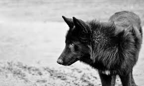 yarrow affenpinscher meet yarrow the alaskan noble companion dog on pack