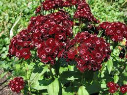 sweet william flowers file sweet william dianthus barbatus heart attack flowers 2816px