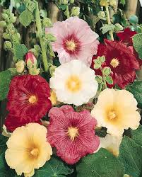 Fig Flower - hollyhock seeds 40 hollyhocks perennial flower seeds