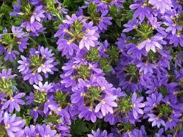 australian native plants with purple flowers scaevola aemula wikipedia
