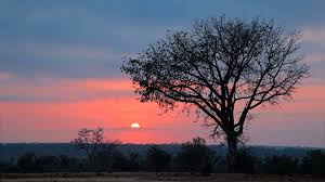 sun and silhouetted savanna tree at south africa