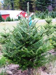 3 to 4 foot fresh cut tabletop fraser fir