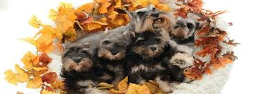 affenpinscher puppies cost miniature schnauzer breeder and akc puppies reberstein u0027s