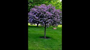 the lilac tree youtube
