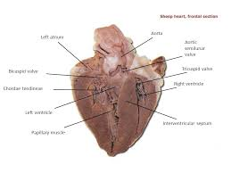 Sheep Heart Anatomy Quiz Cat Dissection Superior Arteries And Veins Ppt Video Online Download