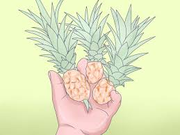 how to grow pineapples 7 steps with pictures wikihow