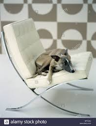 close up of beige whippet dog lying on white leather stock photo