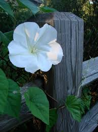 moon flowers care for moonflowers how to grow a moonflower vine