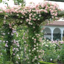 phyllis bide roses for the front of a house specific situations