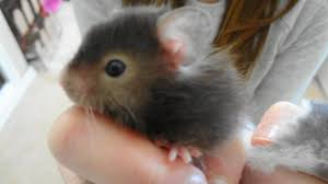 Hamster Cages Petsmart For The Love Of White Hamster Love