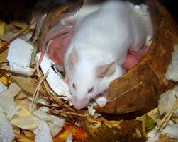 Are Mice Blind What Does A House Mouse Nest Look Like Nesting Habits U0026 Removal