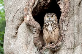 owl in a tree hollow stock photo image of feather predator