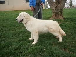 chiricahua retrievers golden labrador retrievers