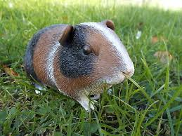 resin brown white smooth haired guinea pig ornament figure